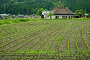 トウモロコシ(青刈り飼料)畑と茅葺民家の写真素材 [FYI03930194]