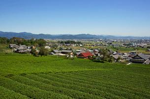 茶畑と民家 池田町中心部と北東の山並みを望むの写真素材 [FYI03930254]