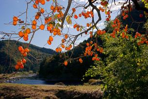 柿と長良川の写真素材 [FYI03930298]