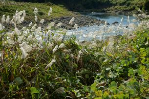 ススキと長良川 の写真素材 [FYI03930300]