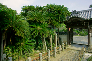 能満寺の大蘇鉄(ソテツ)・国指定の天然記念物の写真素材 [FYI03930390]