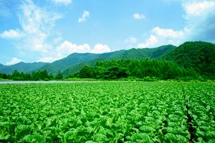 白菜(信州大福)の栽培・開田高原の写真素材 [FYI03930402]