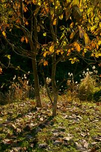 朴(ホウ)の木と落ち葉の写真素材 [FYI03930531]