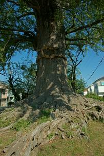 津島神社 お旅所の大いちょうの写真素材 [FYI03930655]