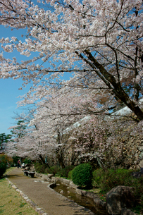 桜咲く小倉公園(小倉山城)の写真素材 [FYI03930749]
