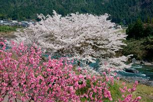 花桃と桜咲く長良川の写真素材 [FYI03930750]