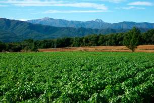 ダイコン畑と山並み ひるがの高原 の写真素材 [FYI03930761]