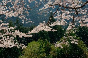 桜吹雪の写真素材 [FYI03930793]