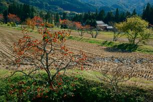 柿と田の写真素材 [FYI03930863]