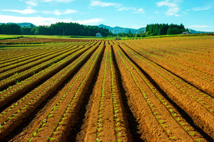 ひるがの高原だいこんの栽培の写真素材 [FYI03930869]