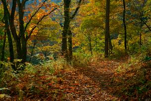 紅葉の旧中山道・鳥居峠の栃の木群生地,の写真素材 [FYI03931053]