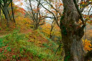 紅葉の旧中山道・鳥居峠の栃の木群生地,の写真素材 [FYI03931092]