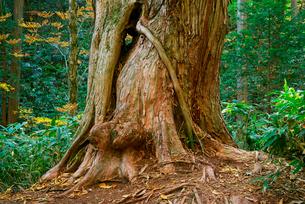 水木沢天然林・巨大ヒノキ,木曽川の源流,の写真素材 [FYI03931096]