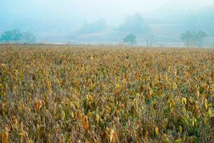 大豆畑,の写真素材 [FYI03931097]