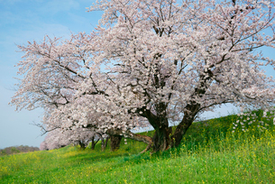 木曽長良背割堤の桜並木の写真素材 [FYI03931136]
