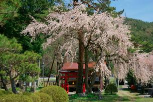 桜咲く旗挙八幡宮の写真素材 [FYI03931154]