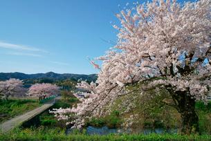 津屋川堤の桜の写真素材 [FYI03931194]