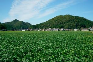 大豆畑と山並みの写真素材 [FYI03931261]