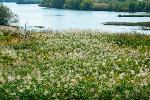 ススキと多度川 揖斐川との合流点の写真素材 [FYI03931286]