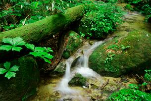 水木沢 木曽川の源流 水木沢天然林の写真素材 [FYI03931323]