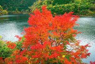 秋神貯水池の紅葉 飛騨川支流の写真素材 [FYI03931377]