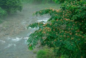 合歓の花咲く神崎川の写真素材 [FYI03931423]