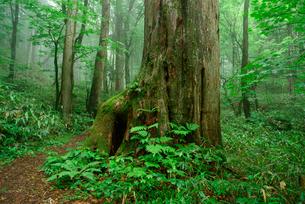 大サワラ 水木沢天然林 木曽川の源流の写真素材 [FYI03931441]