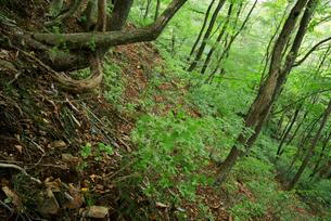 鷲見城遺跡 登城道より見た北面の崖の写真素材 [FYI03931668]