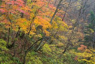 鷲見城遺跡 三の木戸 北面崖の紅葉の写真素材 [FYI03931703]