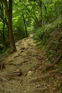 岐阜城 搦手道 瞑想の小径 木根道の写真素材 [FYI03931794]