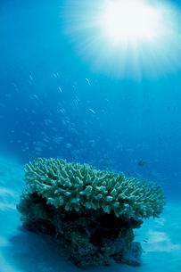 水面から差し込む光とテーブルサンゴに群れるデバスズメダイの写真素材 [FYI03931952]