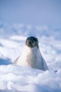 氷上に顔を出すタテゴトアザラシの写真素材 [FYI03931964]