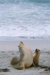 砂浜に佇むオーストラリアアシカの親子の写真素材 [FYI03931987]
