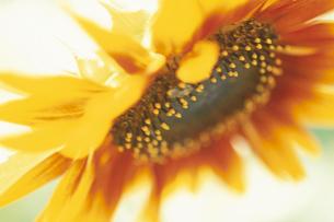 ひまわりの花のアップの写真素材 [FYI03932145]