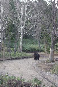 道を歩くヒグマの写真素材 [FYI03932162]