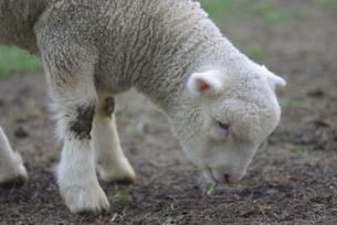 草を食べる子羊の写真素材 [FYI03932177]