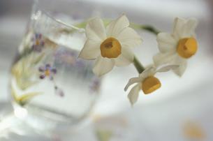 コップに生けたスイセンの花の写真素材 [FYI03932185]