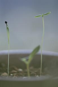 3本の芽の写真素材 [FYI03932194]