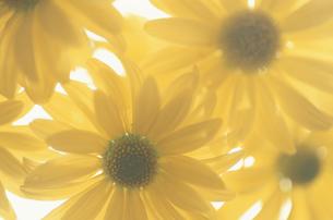 スプレー菊の写真素材 [FYI03932196]