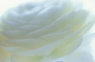ラナンキュラスの写真素材 [FYI03932197]