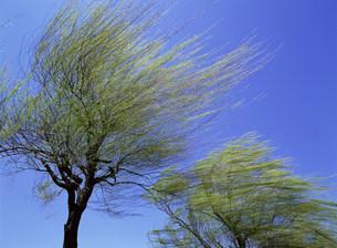 風に揺れる樹木の写真素材 [FYI03932459]