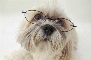 眼鏡をかけた犬の写真素材 [FYI03933427]