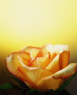 花の写真素材 [FYI03933861]