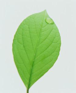 葉の写真素材 [FYI03933874]