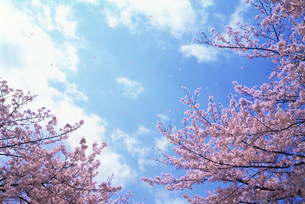 桜の写真素材 [FYI03933917]