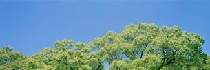 シラカシの新緑の写真素材 [FYI03934099]