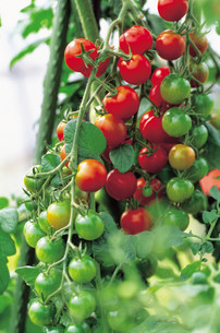 トマトの写真素材 [FYI03935319]