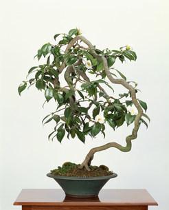 盆栽の写真素材 [FYI03939021]