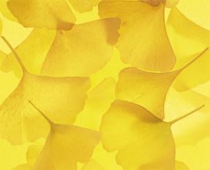 黄葉の写真素材 [FYI03939041]