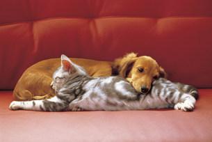 猫と犬の写真素材 [FYI03940009]